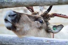 Μάτι ταράνδων Στοκ Φωτογραφίες