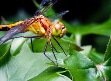 Μάτι της μύγας δράκων Στοκ Εικόνες