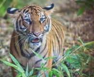 Μάτι της τίγρης Στοκ Φωτογραφία