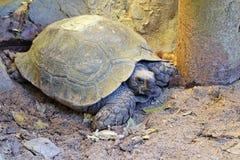Μάτι της χελώνας (επιλεγμένη εστίαση) με το σύνολο του στο χώμα groun Στοκ φωτογραφίες με δικαίωμα ελεύθερης χρήσης