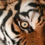 Μάτι τιγρών Στοκ Φωτογραφίες