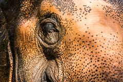 Μάτι του ελέφαντα στοκ εικόνες με δικαίωμα ελεύθερης χρήσης
