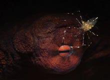 Μάτι του χταποδιού με τις γαρίδες καθαρισμού Στοκ εικόνες με δικαίωμα ελεύθερης χρήσης