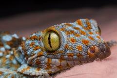 Μάτι του gecko στοκ εικόνες