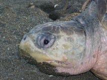 Μάτι χελωνών Στοκ Εικόνες