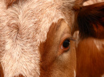 μάτι longhorn Στοκ εικόνα με δικαίωμα ελεύθερης χρήσης
