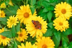 Μάτι Peacock πεταλούδων στην κίτρινη κινηματογράφηση σε πρώτο πλάνο λουλουδιών στοκ φωτογραφία