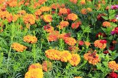 Μάτι Peacock marigolds Πεταλούδες στον κήπο Στοκ φωτογραφία με δικαίωμα ελεύθερης χρήσης