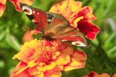 Μάτι Peacock marigolds Στοκ φωτογραφίες με δικαίωμα ελεύθερης χρήσης