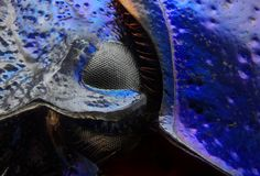 Μάτι stercorosus Anoplotrupes που λαμβάνεται με το στόχο μικροσκοπίων Στοκ Εικόνα