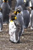 Μάδημα Penguin βασιλιάδων Στοκ φωτογραφίες με δικαίωμα ελεύθερης χρήσης