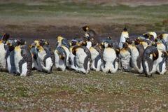 Μάδημα Penguins βασιλιάδων - Νήσοι Φώκλαντ Στοκ φωτογραφίες με δικαίωμα ελεύθερης χρήσης