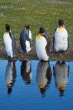 Μάδημα Penguins βασιλιάδων - Νήσοι Φώκλαντ Στοκ Εικόνες