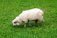 Μάλλινα πρόβατα με μια μακροχρόνια βοσκή δεράτων Στοκ εικόνα με δικαίωμα ελεύθερης χρήσης