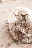 Μάλλινα πρόβατα στο ζωολογικό κήπο Στοκ Εικόνα