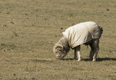 Μάλλινα πρόβατα στο λιβάδι Στοκ φωτογραφίες με δικαίωμα ελεύθερης χρήσης