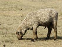 Μάλλινα πρόβατα στο λιβάδι Στοκ εικόνες με δικαίωμα ελεύθερης χρήσης