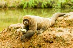 Μάλλινος πίθηκος στις άγρια περιοχές Στοκ Φωτογραφίες