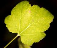 μέγεθος φύλλων εικόνας φθινοπώρου xxxl Κινηματογράφηση σε πρώτο πλάνο Στοκ Εικόνες