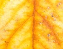 μέγεθος φύλλων εικόνας φθινοπώρου xxxl Κινηματογράφηση σε πρώτο πλάνο Στοκ Εικόνα