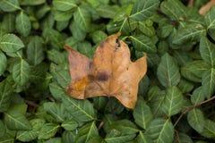 μέγεθος φύλλων εικόνας φθινοπώρου xxxl Στοκ εικόνες με δικαίωμα ελεύθερης χρήσης