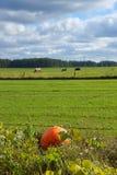Μέγιστα Duch Cucurbita κολοκύθας , μεγάλη ανάπτυξη φρούτων στον τομέα, στο υπόβαθρο οι αγελάδες στο λιβάδι Στοκ φωτογραφία με δικαίωμα ελεύθερης χρήσης