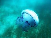 Μέδουσα κάτω από το μπλε νερό στη θάλασσα στην Ελλάδα στοκ φωτογραφία με δικαίωμα ελεύθερης χρήσης