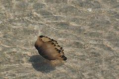 Μέδουσα πυξίδων στον Ατλαντικό στη Βρετάνη στοκ φωτογραφίες με δικαίωμα ελεύθερης χρήσης