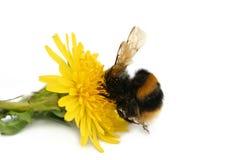μέλισσα άπληστη Στοκ Εικόνες