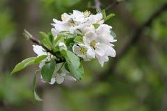 Μέλισσα Ανθίζοντας οπωρώνες με τις μέλισσες την άνοιξη Ανθίζοντας δέντρα οπωρώνων πλήρης άνοιξη λιβαδιών πικραλίδων ανασκόπησης κ Στοκ εικόνα με δικαίωμα ελεύθερης χρήσης