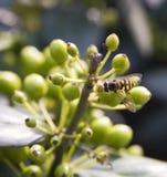 μέλισσα απασχολημένη Στοκ φωτογραφία με δικαίωμα ελεύθερης χρήσης