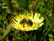 μέλισσα απασχολημένη Στοκ Φωτογραφία