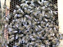 Μέλισσα βασίλισσας αναπαραγωγής με μια ετικέτα στην πλάτη του Στοκ Εικόνες