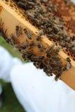 Μέλισσα βασίλισσας στοκ εικόνα