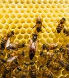 Μέλισσα βασίλισσας Στοκ εικόνες με δικαίωμα ελεύθερης χρήσης