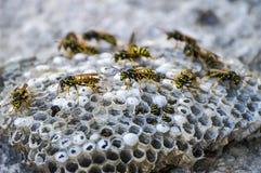Μέλισσα γαιδάρων, άγριες μέλισσες, φωλιά των μελισσών γαιδάρων, επικίνδυνες δηλητηριώδεις μέλισσες, άγριες μέλισσες γαιδάρων στην Στοκ φωτογραφία με δικαίωμα ελεύθερης χρήσης