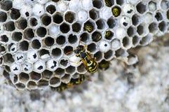 Μέλισσα γαιδάρων, άγριες μέλισσες, φωλιά των μελισσών γαιδάρων, επικίνδυνες δηλητηριώδεις μέλισσες, άγριες μέλισσες γαιδάρων στην Στοκ Εικόνες