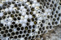 Μέλισσα γαιδάρων, άγριες μέλισσες, φωλιά των μελισσών γαιδάρων, επικίνδυνες δηλητηριώδεις μέλισσες, άγριες μέλισσες γαιδάρων στην Στοκ Φωτογραφία