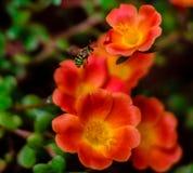 Μέλισσα για το μέλι Στοκ Φωτογραφίες