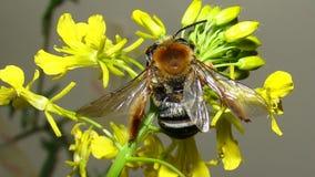 Μέλισσα | Γονιμοποίηση στοκ φωτογραφίες