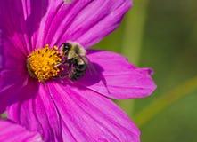 μέλισσα γούνινη στοκ εικόνες