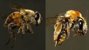 Μέλισσα ΕΝΑΝΤΙΟΝ Hoverfly στοκ φωτογραφίες