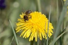Μέλισσα εργαζομένων που καλύπτεται με τα σιτάρια γύρης στοκ εικόνα