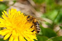 Μέλισσα εργαζομένων στην πικραλίδα κατά τη διάρκεια της μακροεντολής άνοιξη στοκ εικόνα