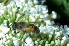 μέλισσα κίτρινη Στοκ Φωτογραφίες