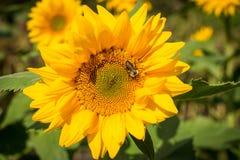 Μέλισσα και ηλίανθος Στοκ Φωτογραφίες