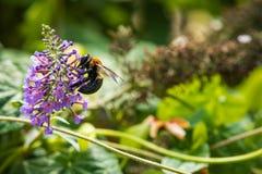 Μέλισσα και πορφυρό λουλούδι στοκ εικόνα
