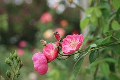 Μέλισσα και ρόδινο λουλούδι στοκ εικόνα με δικαίωμα ελεύθερης χρήσης