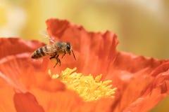 Μέλισσα και χειμερινή παπαρούνα Στοκ Φωτογραφία