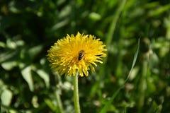 Μέλισσα κοντά στη γύρη στοκ εικόνες
